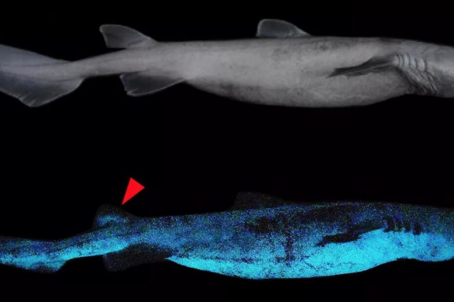 Glow-in-the-dark sharks photographed for first time