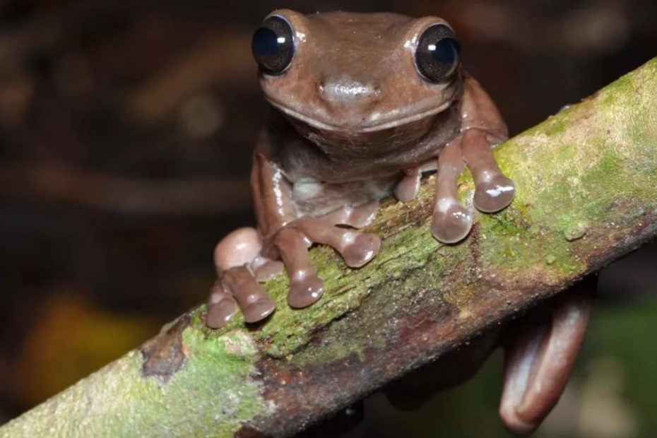 'Chocolate Frog': Australian Researchers Discover New Species of the Amphibian in New Guinea
